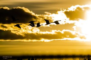 Geese Silhouette by JestePhotography