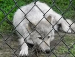 Wolf Preserve 3 by Joducus