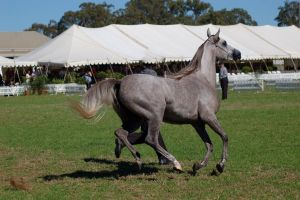 TW Arab Grey gallop side view all legs off ground by Chunga-Stock