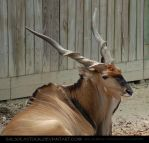 Giant Eland 2 by SalsolaStock