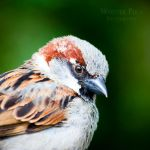 Sparrow by WouterPera
