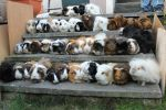 All 44 of my Guinea pigs by Clerdy