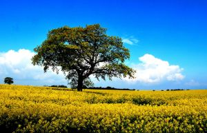 A tree in a yellow sea by jchanders