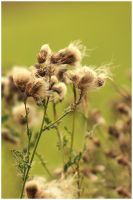Withered Wild Flowers by sisyphi
