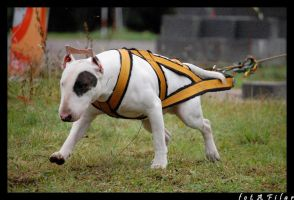wsds bullterrier weight pullin by filarska
