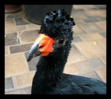 Wattled Curassow by meihua