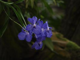 Purple orchidee by Claudia008