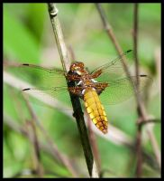 Dragonfly by Skia