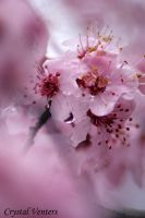 Pink Cherry Blossom by poetcrystaldawn