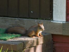 Young squirrel in cottageland by TomiTapio