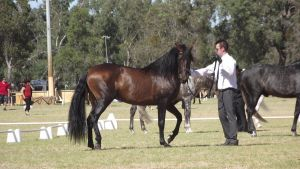 Bay Andalusian Stallion 2 by wildbrumby