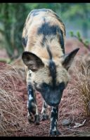 African Painted Dog 142-12n by mym8rick