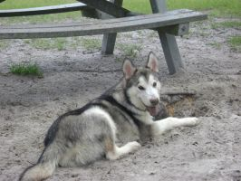 Dirty malamute is dirty by Dunkin-Prime