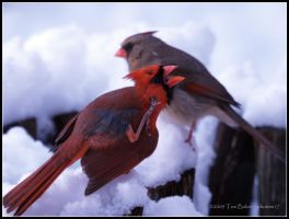 cardinals informal by photom17