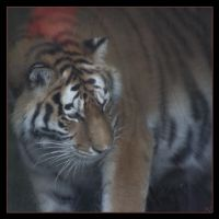 Amur Tiger 8 by Globaludodesign