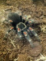 Mexican Flame Knee Tarantula (17) by emmys-stock