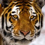 Tiger eye by nigel3