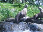 Otters: Feeding Time by live4skiing