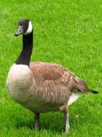 Canada Goose 2 by koshplappit