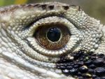 Eastern Water Dragon by Photos-of-Feathers