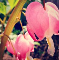 Bleeding Hearts by kml91225