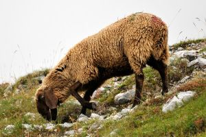 Alpine sheep 1 - Seegrube by wildplaces