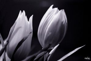 Tulipes by rdalpes