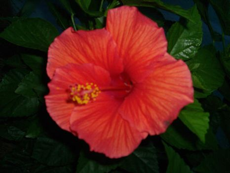 Hibiscus by SophieHeart