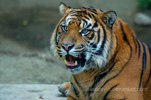 Tiger, tiger burning bright... by SeaSpryte