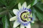 Passion flower... by c-miell