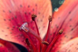 Tiger Lily 2 by OneLittlePixel