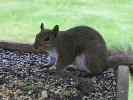 Gray Squirrel 1 by Windthin