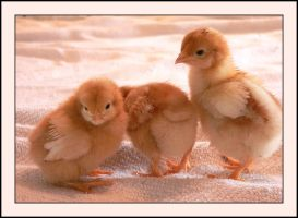 Baby chickens III by LanimilbuSx
