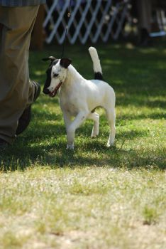 Smooth Fox Terrier 3 by xxtgxxstock
