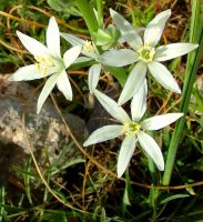 Southern Star of Bethlehem by floramelitensis