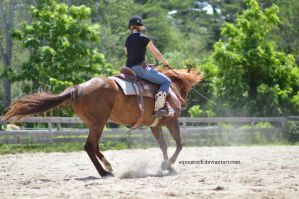Chestnut quarter horse reining spin with rider by equustock