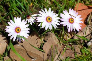 Daisies Front Border 042 by lichtie