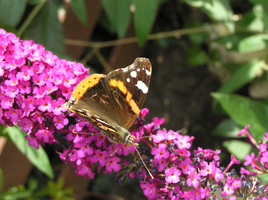 Butterfly 22-07-2015 -6 by 69raywwf