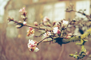 Blossom by IkariPhotography