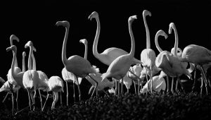 Flock of Flamingos by DesiGnerMR