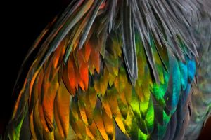 Nicobar Pigeon by ribbonworm