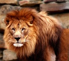 LIONS GLARE by TlCphotography730