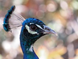 Peacock by rainylake
