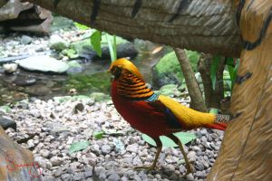 Golden Pheasant I by SunnYx3