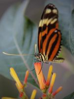Tiger-Striped Longwing by KMourzenko