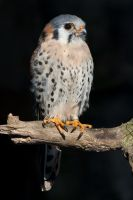 american kestrel by Drezdany-stocks