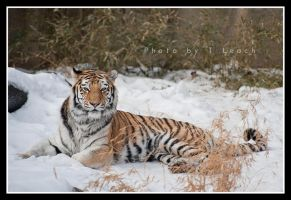 Tiger in a Centerfold by tleach0608