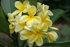 Yellow Frangipani by Firey-Sunset