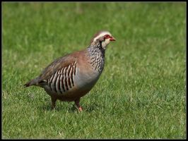 Red-legged Partridge by cycoze