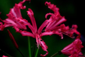 Nerine by Tinap